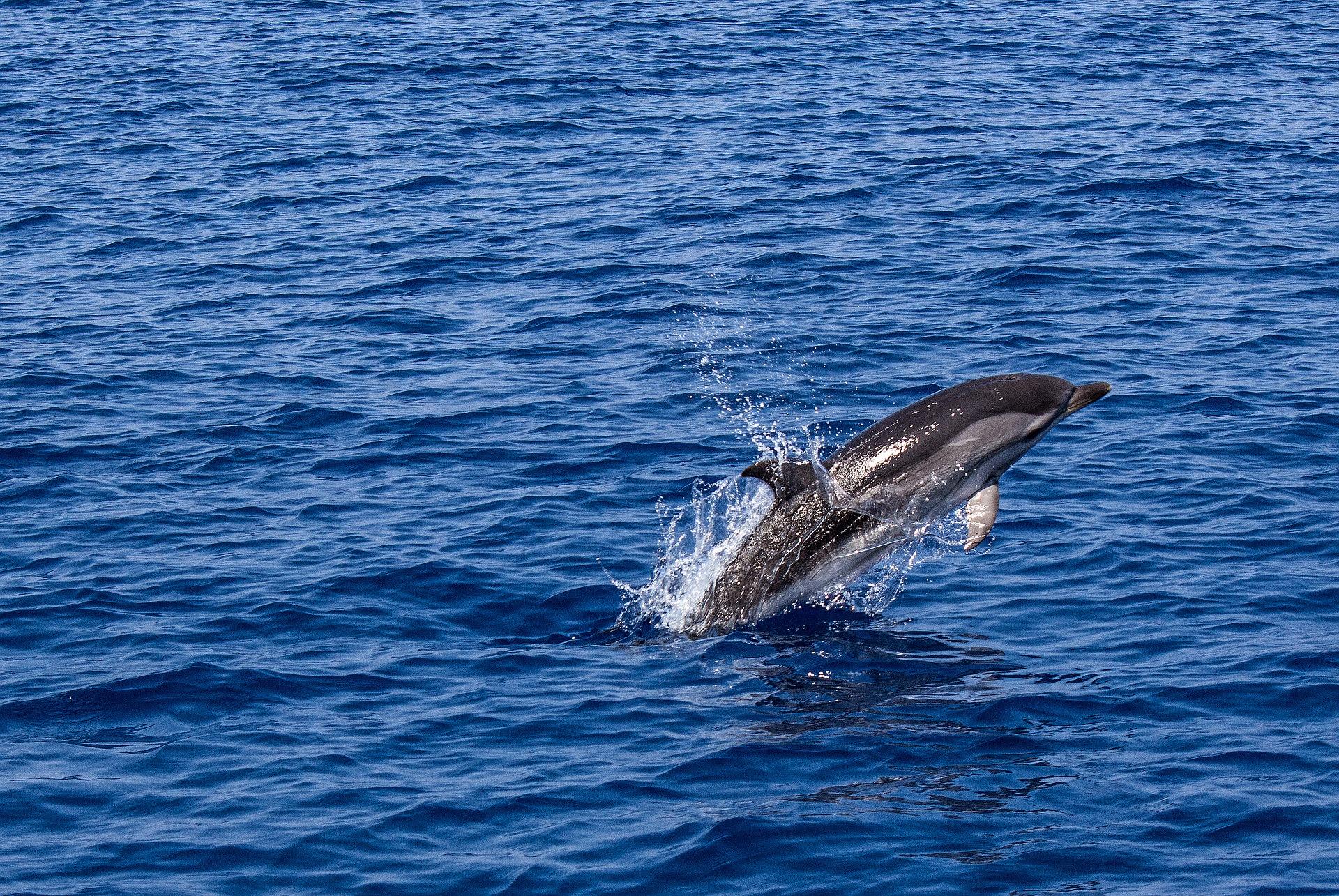 Un delfín nada en alta mar