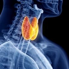 Imagen de las glándulas tiroideas